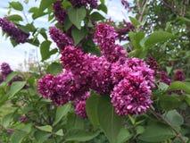 带淡红色的紫色丁香 免版税库存图片