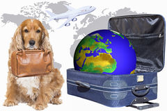 带着一个手提箱的斗鸡家在她的嘴准备好旅行 库存图片