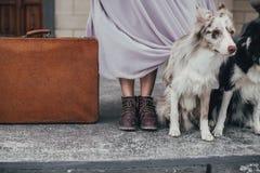 带着手提箱的博德牧羊犬 免版税库存图片