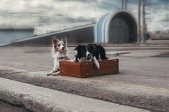 带着手提箱的博德牧羊犬 库存照片
