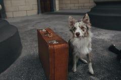带着手提箱的博德牧羊犬 免版税图库摄影