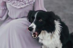 带着手提箱的博德牧羊犬 免版税库存照片
