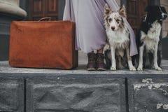 带着手提箱的博德牧羊犬 库存图片