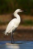 带红色白鹭,白鹭属rufescens,罕见的苍鹭,白色形式 鸟在与第一早晨太阳光的水中 苍鹭在水中,伯爵 库存照片