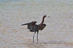 带红色白鹭阴影狩猎在坎昆的Isla布朗卡墨西哥的潮汐水域中 库存照片