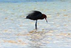 带红色白鹭(白鹭属rufescens)狩猎在Isla布朗卡潮汐水域坎昆墨西哥中 免版税库存图片