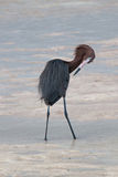 带红色白鹭preenng在坎昆附近的Isla布朗卡潮汐水域中 免版税库存图片