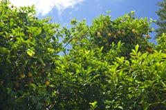带苦味柠檬结构树 库存图片