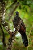 带被盯梢的管国,绣花底布argyrotis,从黑暗的森林圣玛尔塔山,哥伦比亚的稀有人物 鸟的监视人在南美 双 库存照片