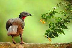 带被盯梢的管国,绣花底布argyrotis,从黑暗的森林圣玛尔塔山,哥伦比亚的稀有人物 鸟的监视人在南美 双 免版税库存照片