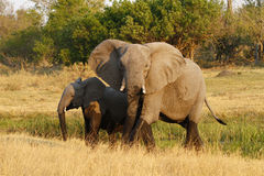 带路的女家长非洲大象 免版税图库摄影