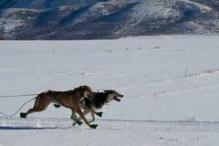 带领拉雪橇狗在落矶山脉拉雪橇狗可汗 免版税图库摄影
