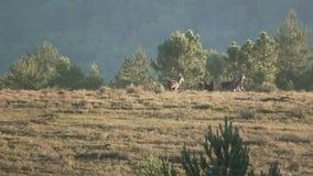 带领牧群的公鹿在黄昏 影视素材