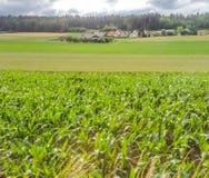 带领玉米的辗压的领域种田房子和村庄、蓝天和云彩在森林在背景中 免版税库存图片