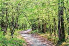 带领通过在一个晴朗的夏天森林A美好的风景风景的树的一条消失的道路 免版税库存图片