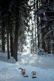 带领通过杉木森林的雪足迹 免版税库存图片