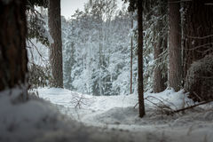 带领通过杉木森林的雪足迹 免版税库存照片