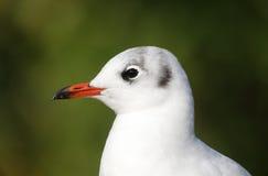 黑带头的鸥,鸥属ridibundus, 库存照片