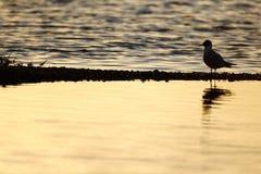 黑带头的鸥,鸥属ridibundus 库存照片