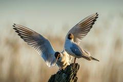 黑带头的鸥(鸥属ridibundus)在自然日出天空背景 前面 两只鸥坐在日出lig的一棵老树 免版税图库摄影