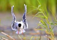 黑带头的鸥(鸥属ridibundus)飞行前面  免版税库存图片