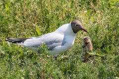 黑带头鸥哺养 免版税库存图片