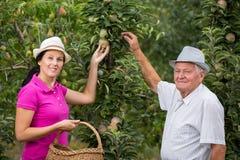 帮助一个更老的人的妇女在果树园,摘苹果 免版税库存照片