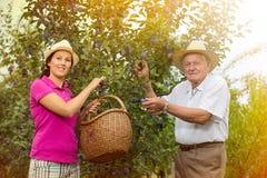 帮助一个更老的人的妇女在果树园,采摘李子 库存照片
