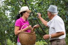 帮助一个更老的人的妇女在果树园,采摘李子 免版税库存照片