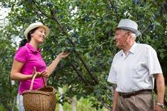 帮助一个更老的人的妇女在果树园,采摘李子 免版税库存图片
