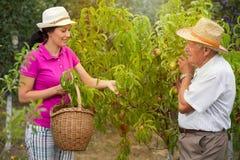 帮助一个更老的人的妇女在果树园,采摘桃子 免版税库存照片