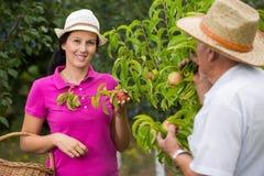 帮助一个更老的人的妇女在果树园,采摘桃子 库存图片
