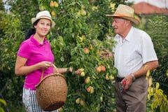 帮助一个更老的人的妇女在果树园,采摘梨 库存图片