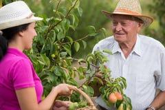 帮助一个更老的人的妇女在果树园,采摘梨 免版税库存照片