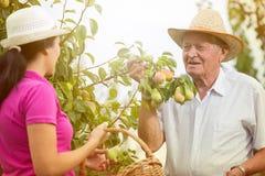 帮助一个更老的人的妇女在果树园,采摘梨 图库摄影