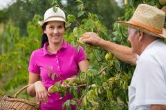 帮助一个更老的人的妇女在果树园,采摘梨 免版税库存图片