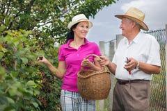 帮助一个更老的人的妇女在果树园,采摘黑莓 库存照片