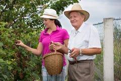 帮助一个更老的人的妇女在果树园,采摘黑莓 免版税库存图片