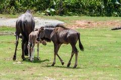 帮助新出生的婴孩的野生母亲牛羚 库存照片