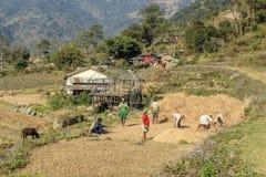帮助的人们打谷收获的玉米 库存图片