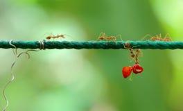 帮助的蚂蚁 图库摄影