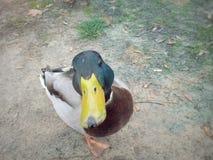 帮助自然的野鸭鸭子黄色额嘴哺养的动物近 库存图片