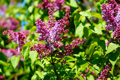 寻常公用丁香的紫丁香属植物 开始开花 免版税库存图片
