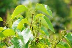 寻常公用丁香的紫丁香属植物 新鲜的种子胶囊 库存图片