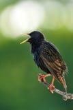 寻常共同的椋鸟的八哥类 免版税库存照片