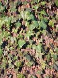常春藤上升在一棵老橡木的,常春藤属螺旋 库存图片