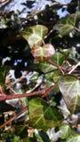常春藤单纯化的秀丽  免版税库存图片