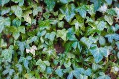 常春藤叶子密集地盖的墙壁 库存照片