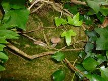 常春藤和伞菌在森林 免版税库存照片