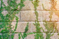 常春藤和墙壁有早晨阳光的,抽象背景 库存照片